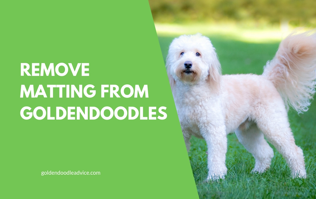 How To Prevent Goldendoodle Matting 3 Must Own Dog Brushes