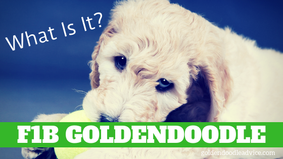 What is an F1B Goldendoodle