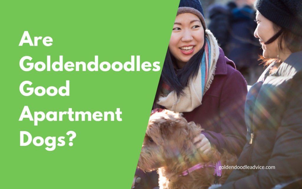 Are Goldendoodles Good Apartment Dogs?
