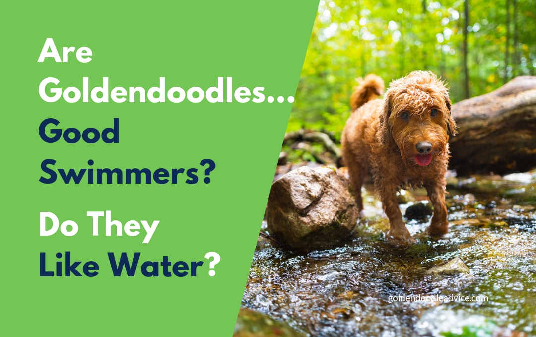 Are Goldendoodles good Swimmers