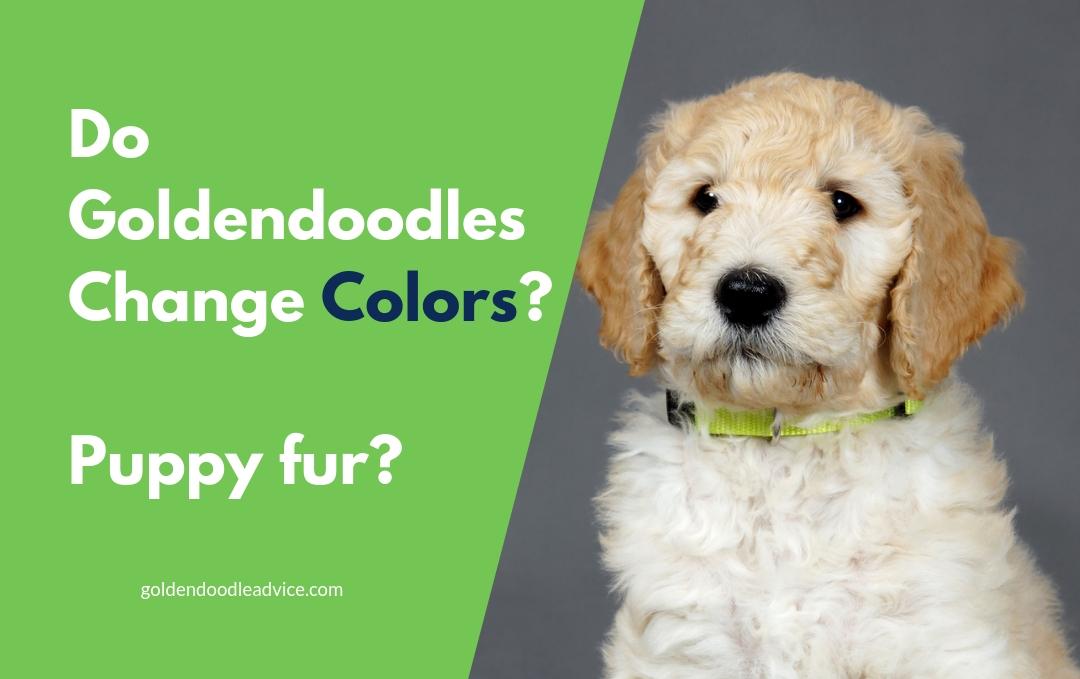 Do Goldendoodles Change Colors?
