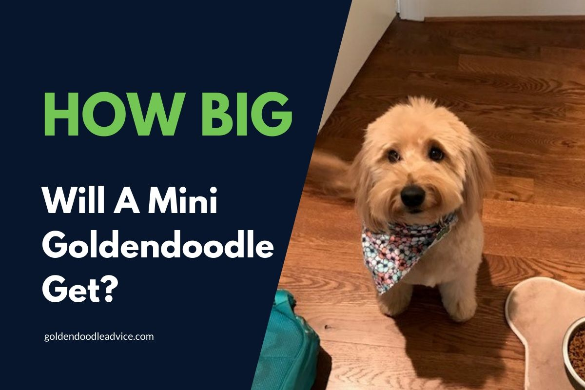 How big will a mini Goldendoodle get