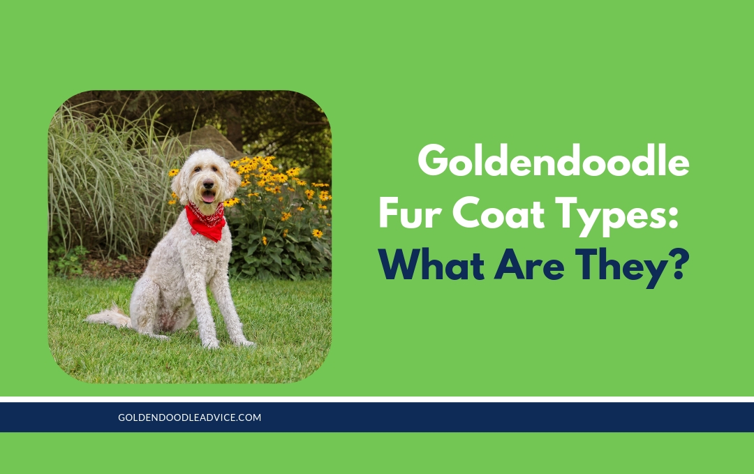 3 Types of Goldendoodle Coats