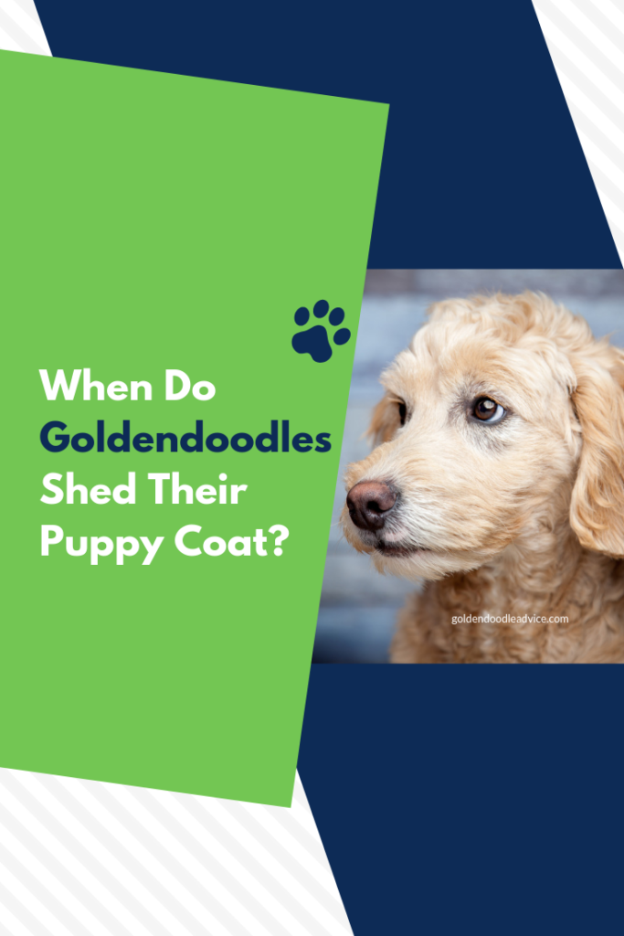 When Do Goldendoodles lose their Puppy Coat, When Do Goldendoodles Shed their Puppy fur, When Do Goldendoodles lose their Puppy fur