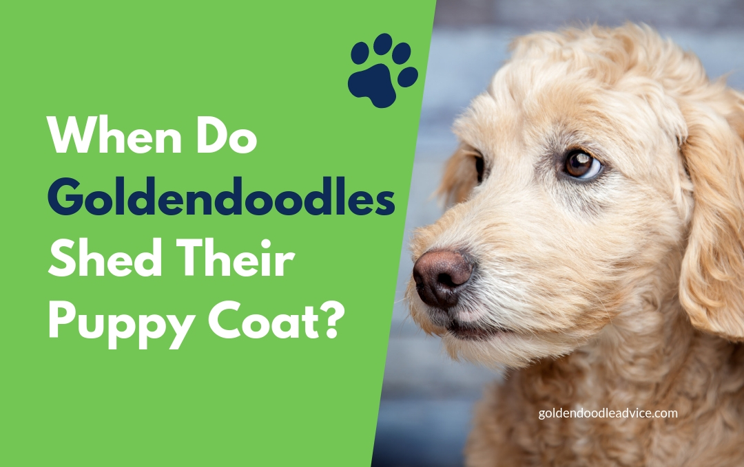 When Do Goldendoodles Shed their Puppy Coat