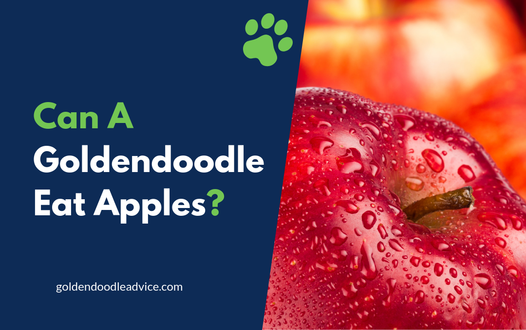 Can A Goldendoodle Eat Apples?