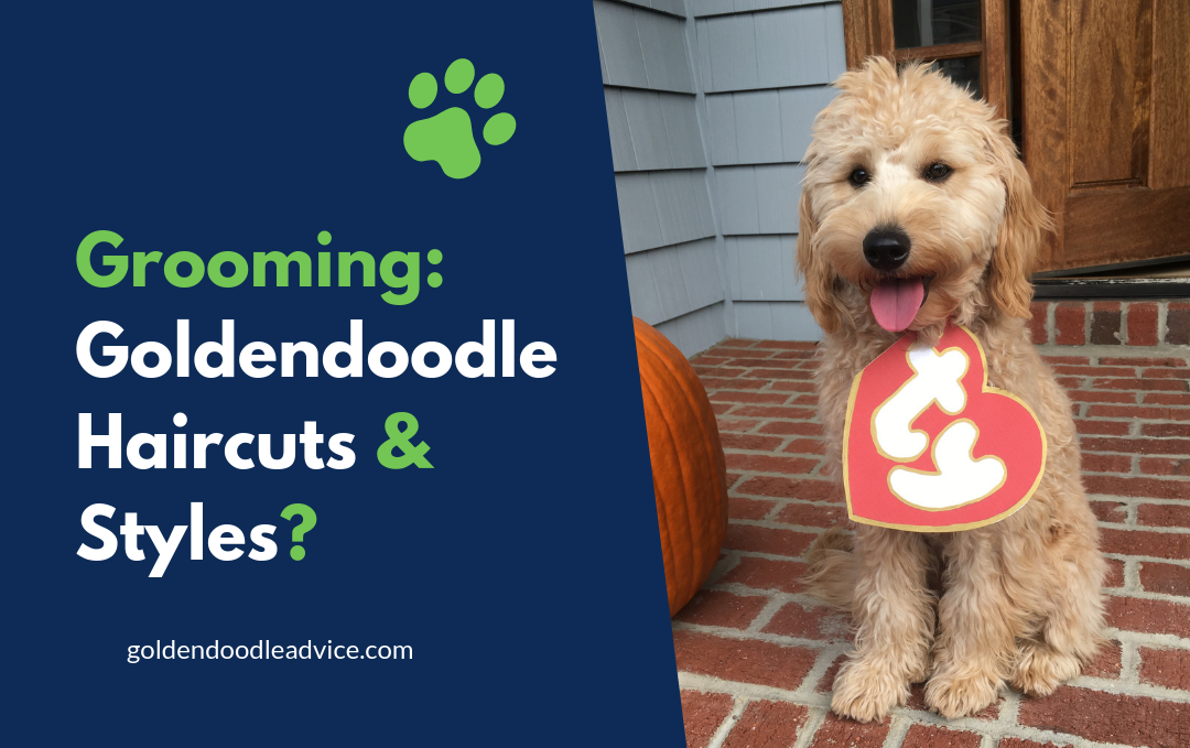 Grooming - Goldendoodle Haircuts & Styles [With Pictures]