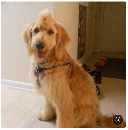 Do Goldendoodles Need Haircuts?