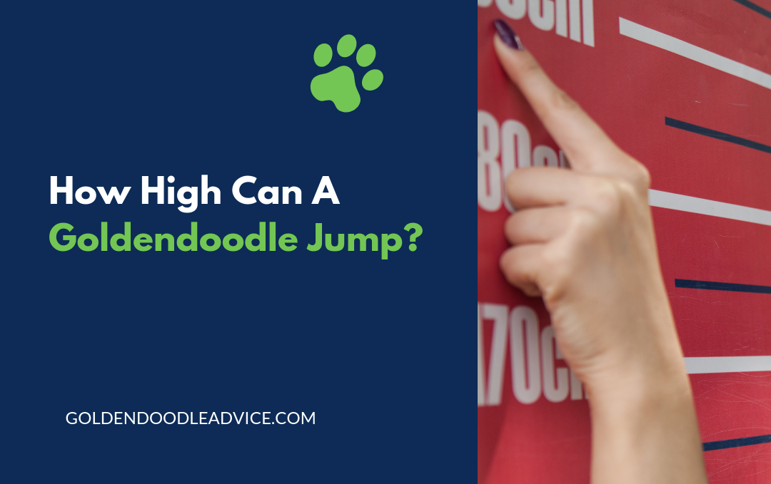 HOW HIGH CAN A GOLDENDOODLE JUMP?