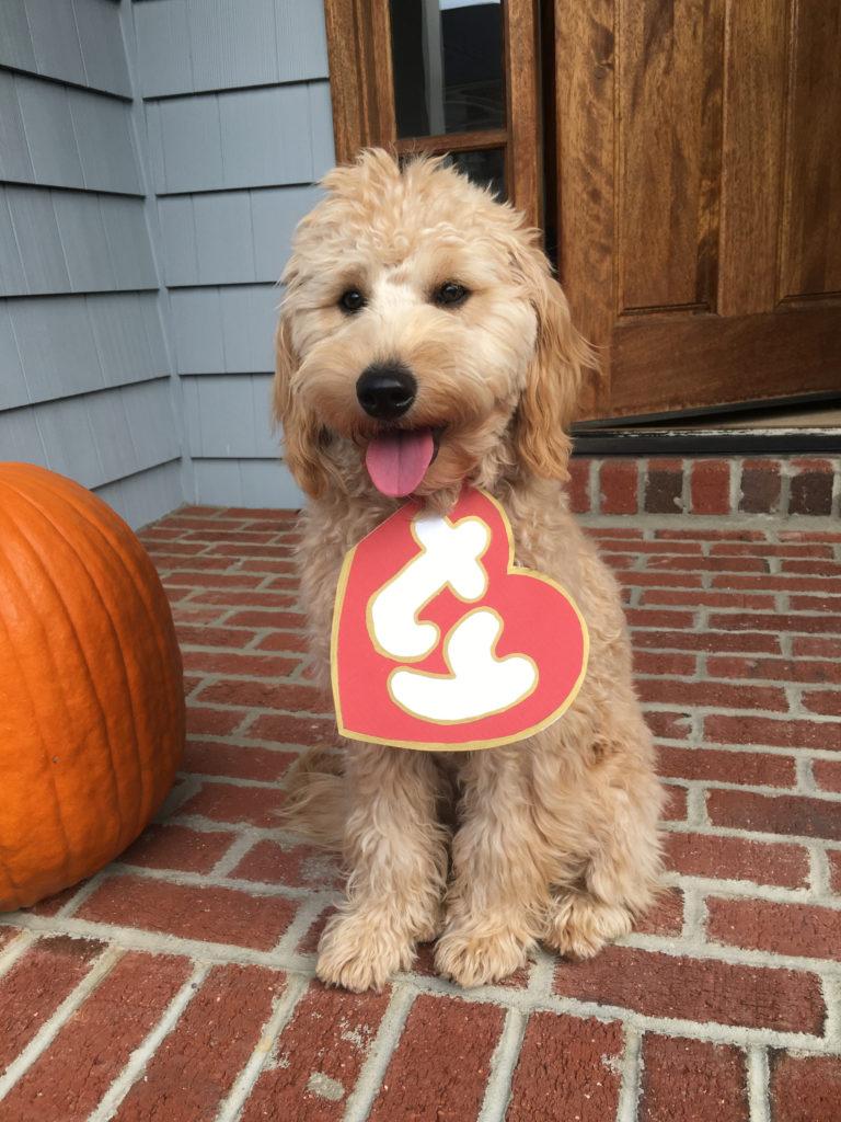 Goldendoodle Beanie Boo Halloween