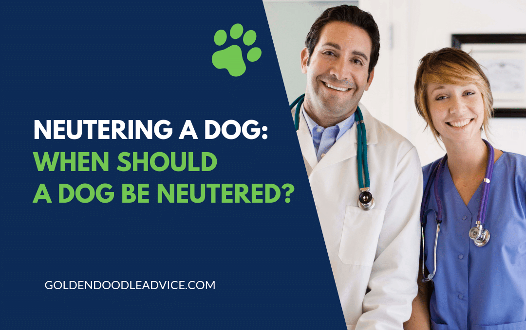 NEUTERING A DOG: WHEN SHOULD A GOLDENDOODLE BE NEUTERED?