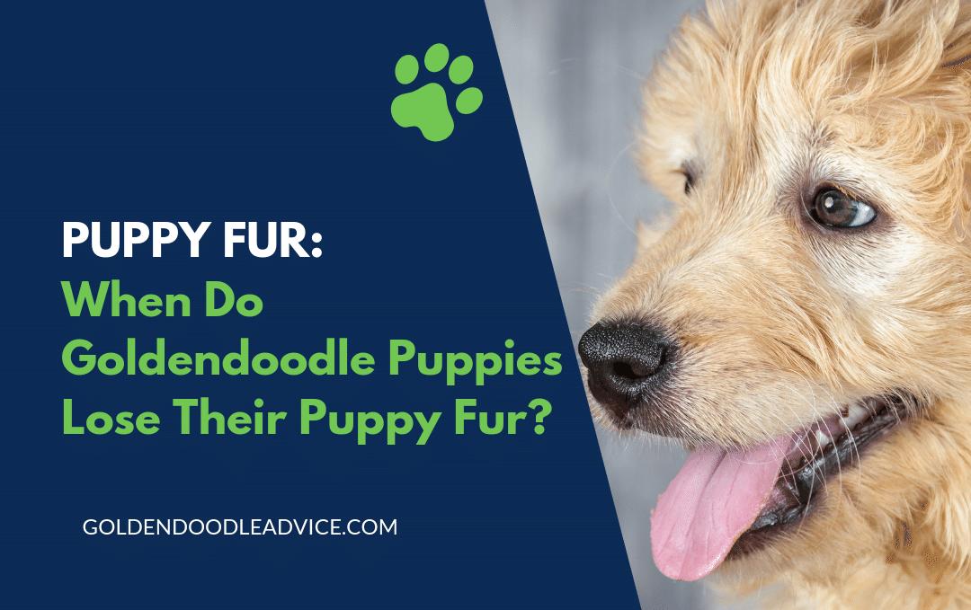 Puppy Fur - When Do Goldendoodle Puppies Lose Their Puppy Fur?