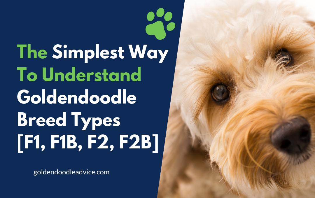 Goldendoodle Breed Types [F1, F1B, F2, F2B]
