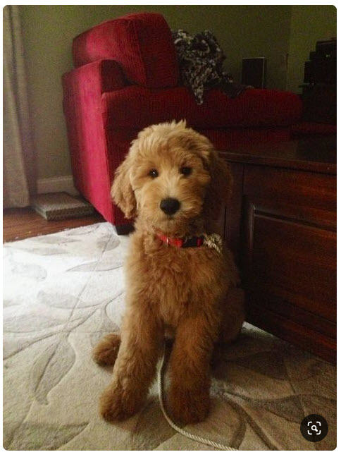 semi short haircut on a goldendoodle goldendoodles 7 creative haircuts styles for goldendoodles with