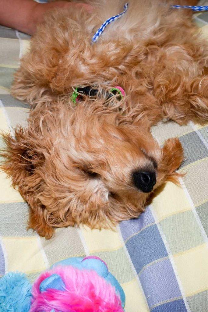 why do dogs sleep on their backs