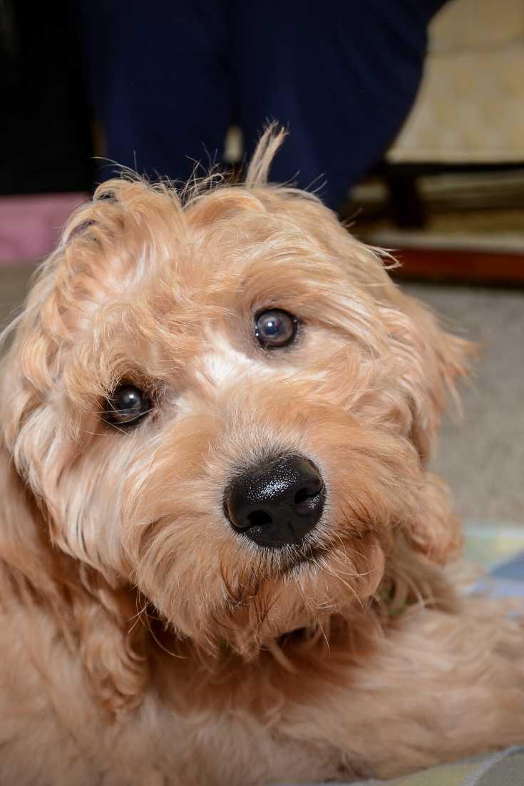 F2 Mini Goldendoodle Puppy Photo