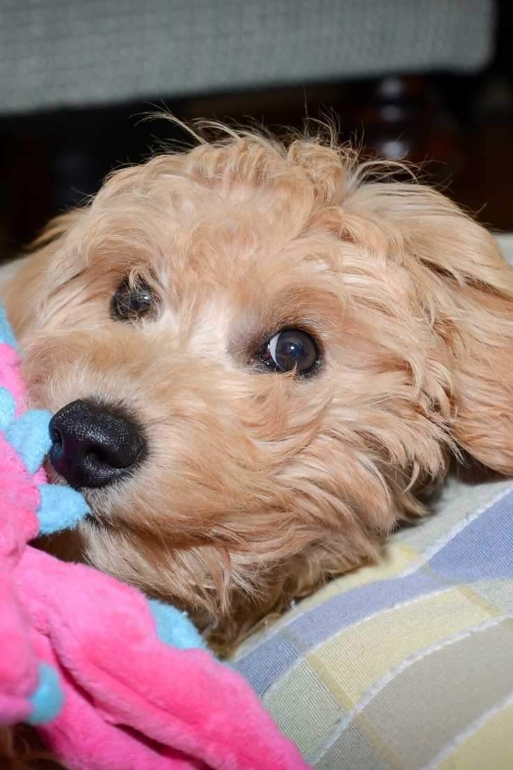 Mini Goldendoodle F2