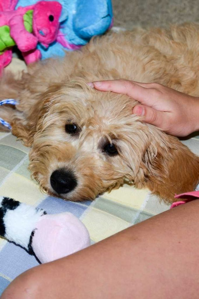 Are Mini Goldendoodles good lapdogs? #doodles #dogs #puppies