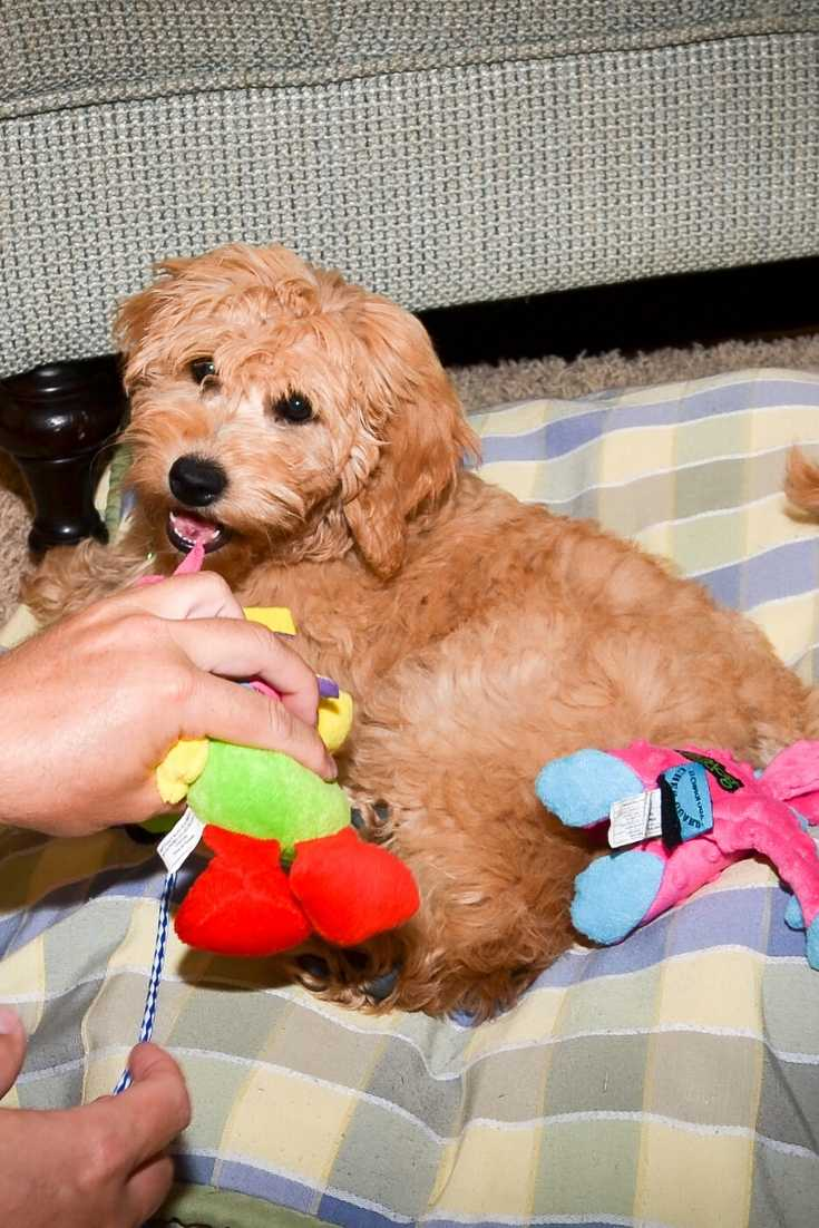 When Do Goldendoodles Shed Their Puppy Fur