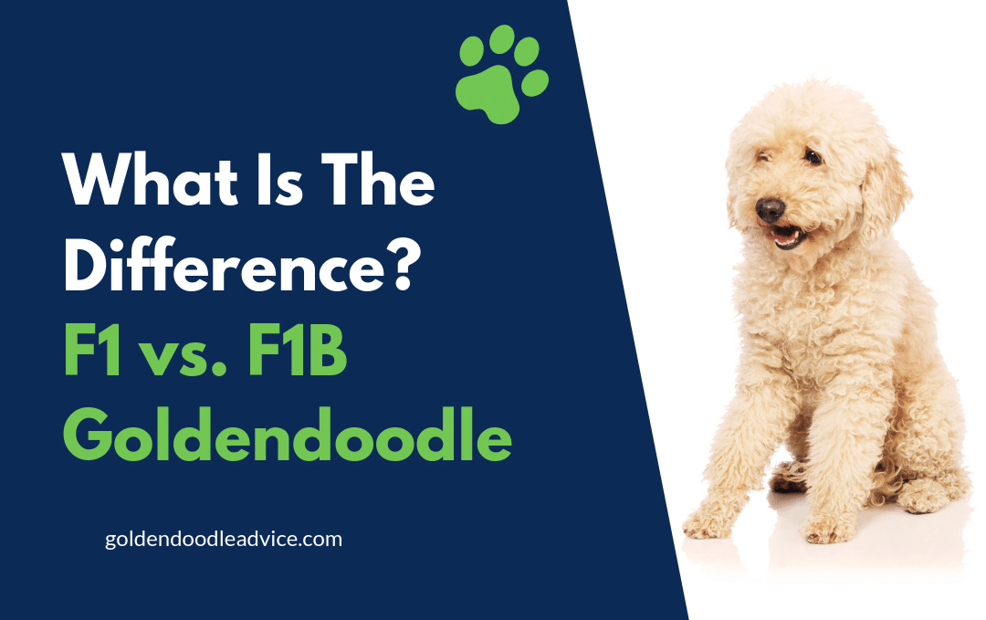 What's The Difference Between an F1 and F1B Goldendoodle?