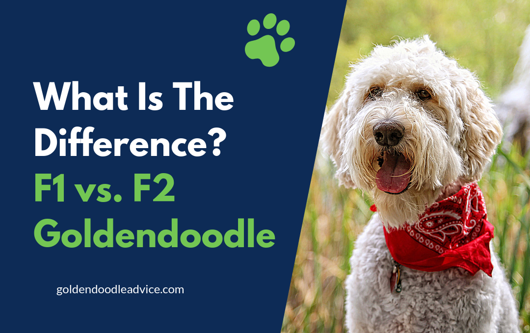 What is the difference between an F1 and F2 Goldendoodle