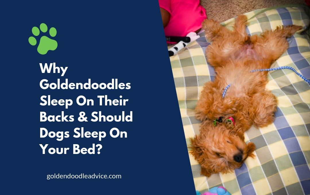 Why Goldendoodles Sleep On Their Backs & Should Dogs Sleep On Your Bed?