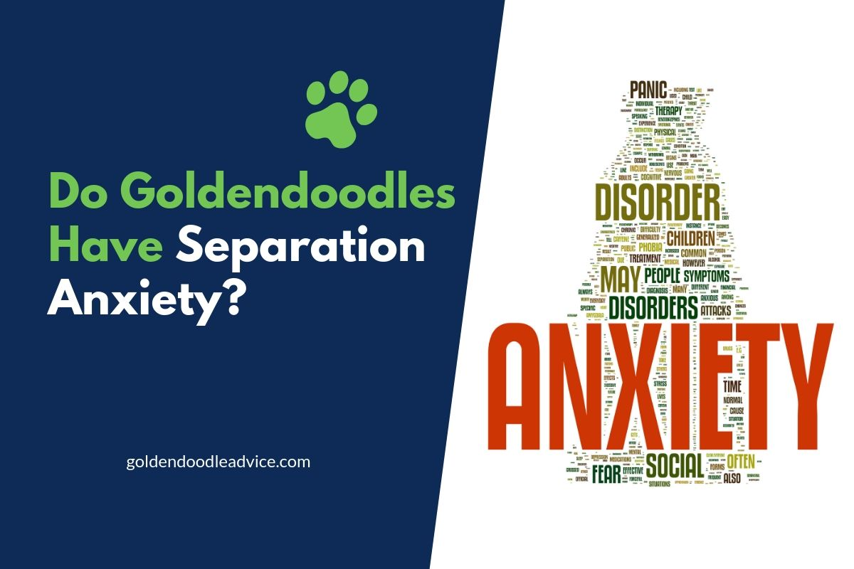 Do Goldendoodles Have Separation Anxiety?