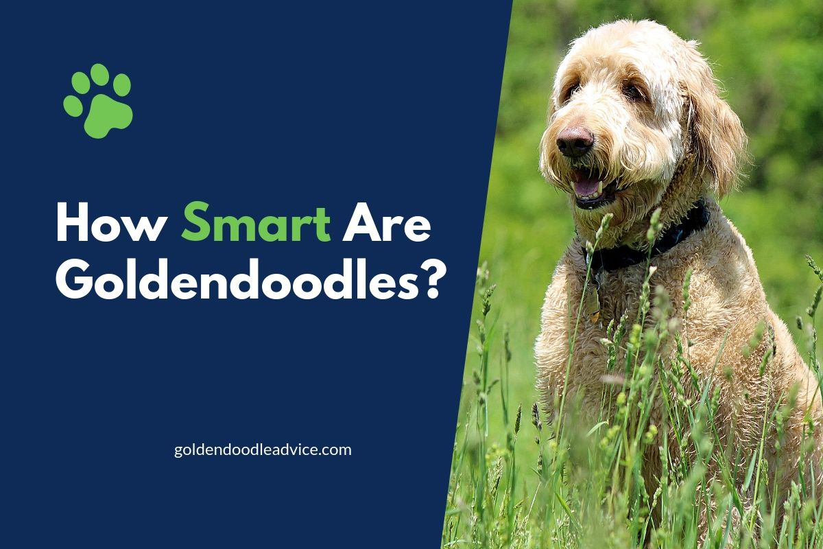 How Smart Are Goldendoodles?