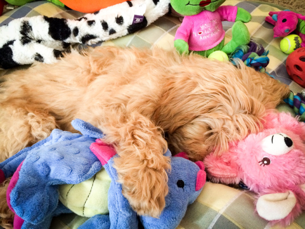 17 Toys Goldendoodles Actually Love!