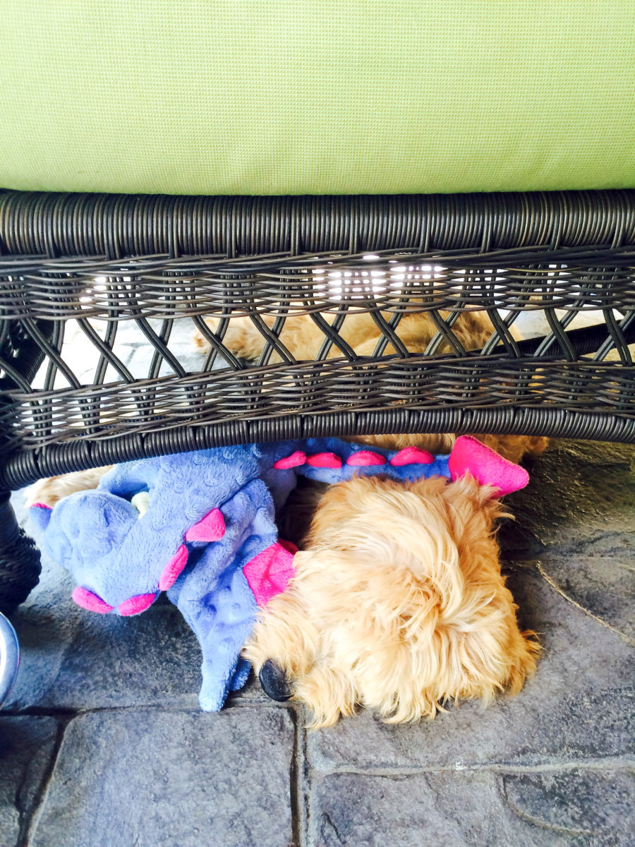 Why Are Goldendoodles (and Mini's) So Popular?