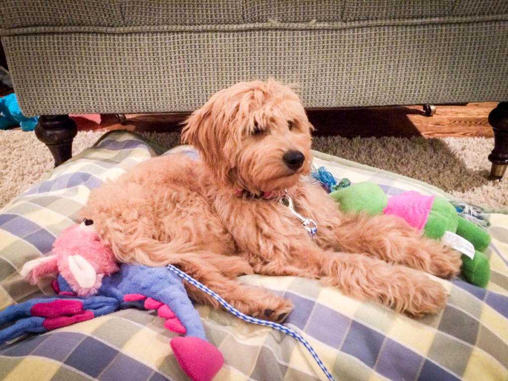 F2 Mini Goldendoodle Puppy