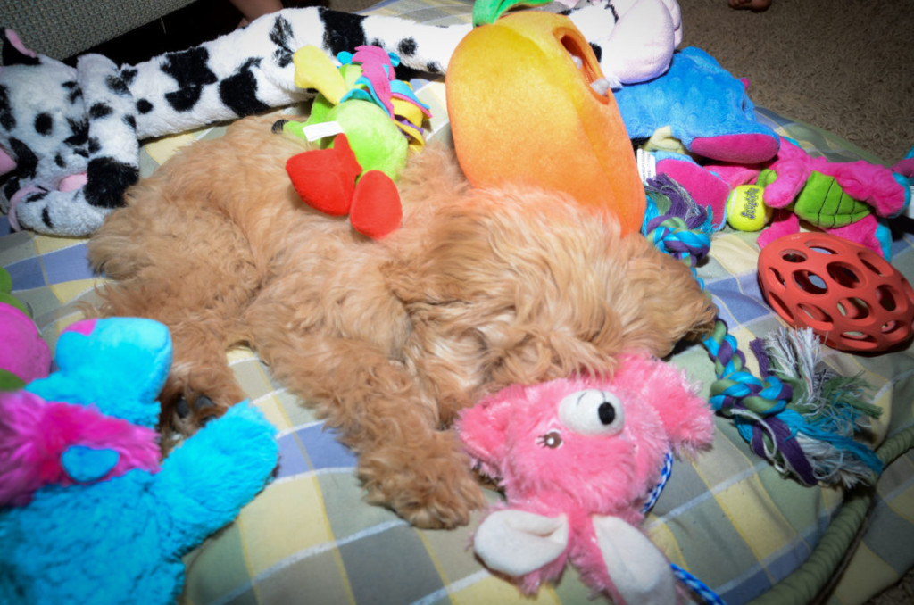 Lexie as a puppy - 3 Months old - mini Goldendoodle puppy #doodle, #puppy