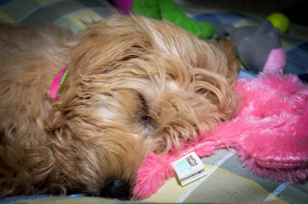 Do puppies dream more than adult dogs? #dogs, #doodles