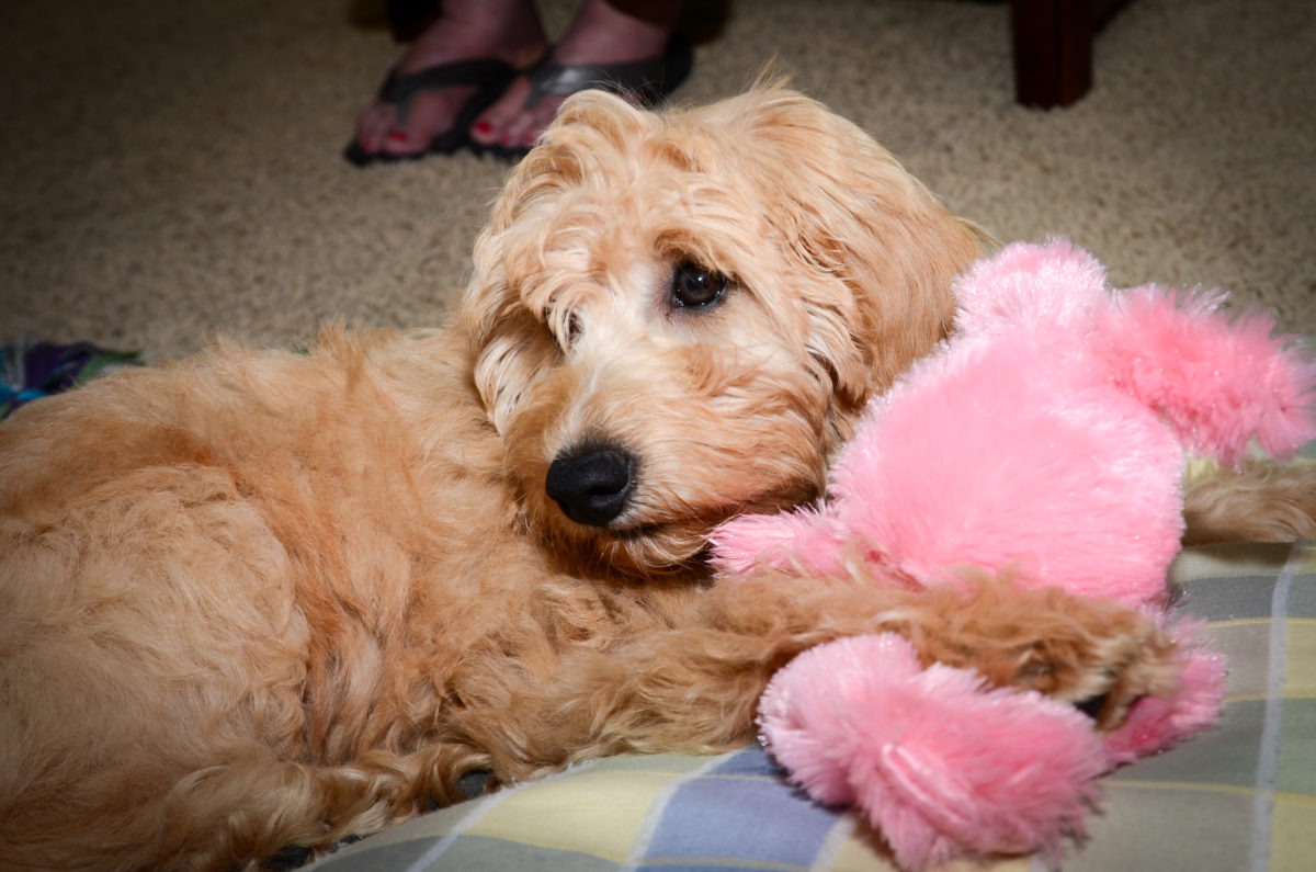 Lexie - Kaos Farm Goldendoodles - Goldendoodle Cost: Puppy Prices & Daily Maintenance