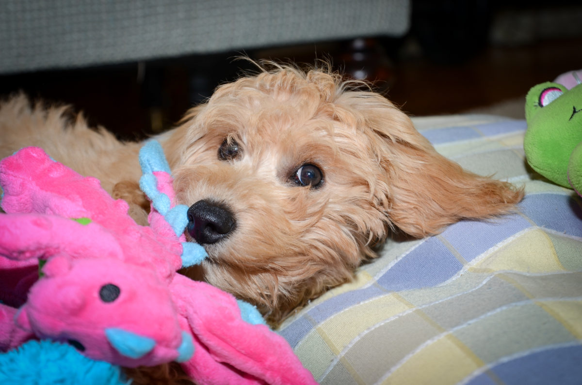 Gift Ideas For A New Goldendoodle Puppy!