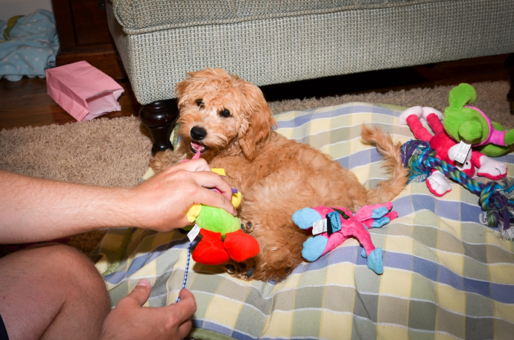 Lexie as a puppy - 3 Months old - mini Goldendoodle puppy