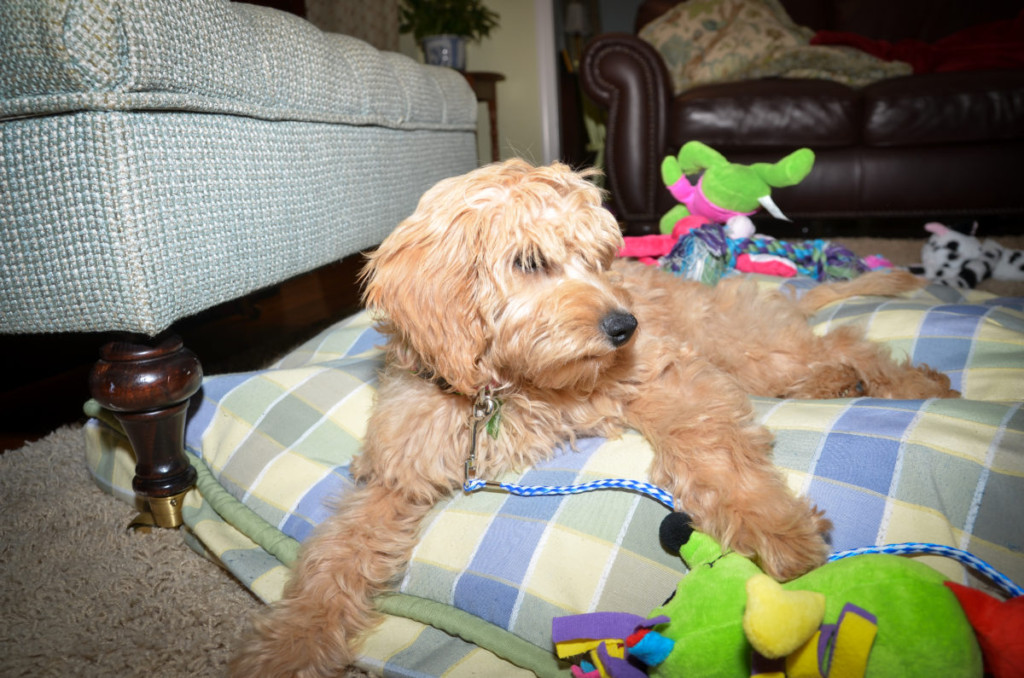 Lexie is a mini goldendoodle puppy
