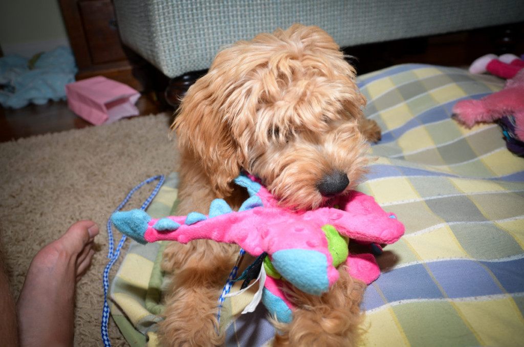 What Makes The Goldendoodle Smart?