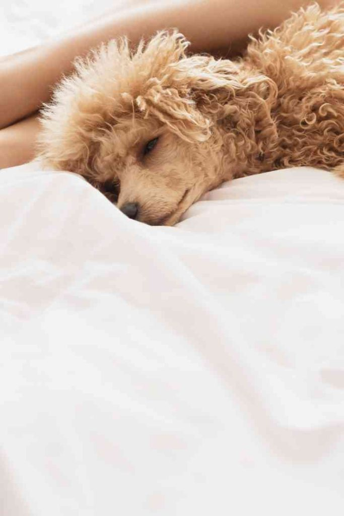Why do dogs sleep at the end of the bed_ #dogs, #puppies, #doodles