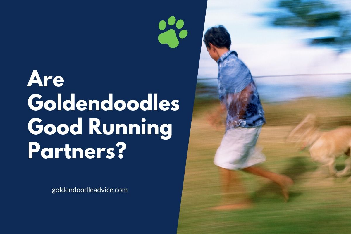 Are Goldendoodles Good Running Partners? #Dogs