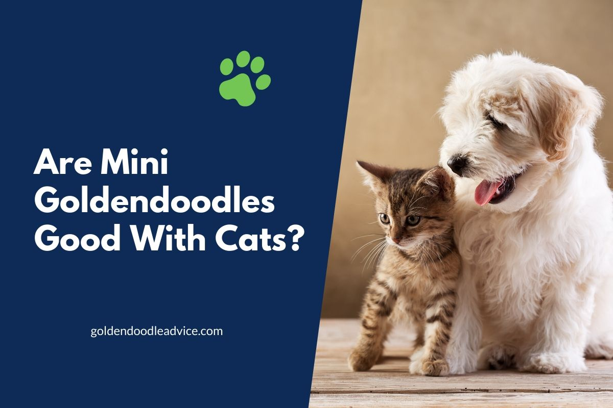 Are Mini Goldendoodles Good With Cats?