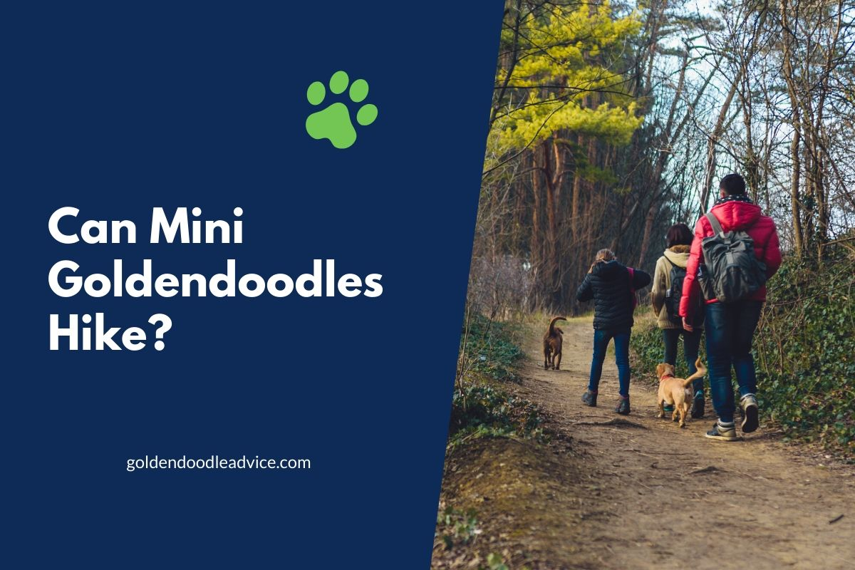 Can Mini Goldendoodles Hike?