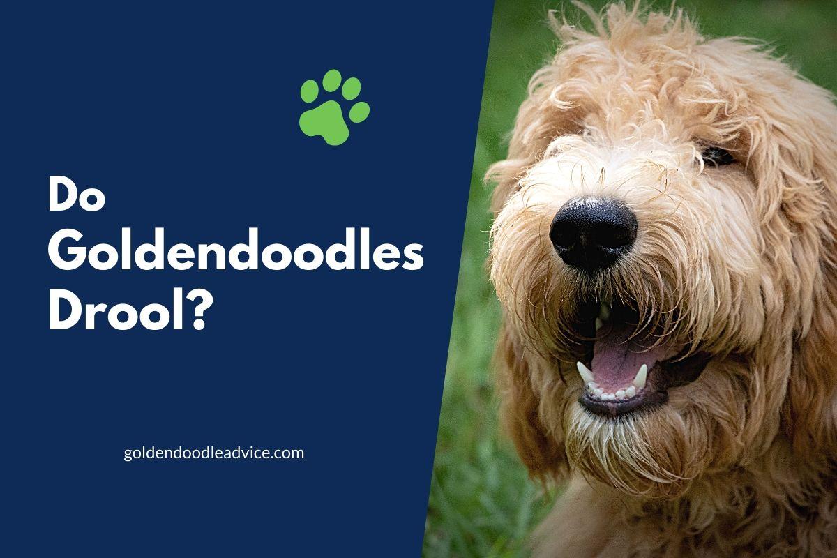 Do Mini Goldendoodles Drool? #dogs, #doodles, #puppies