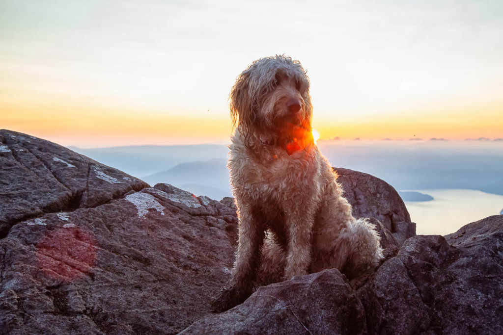 Goldendoodle as a watch dog