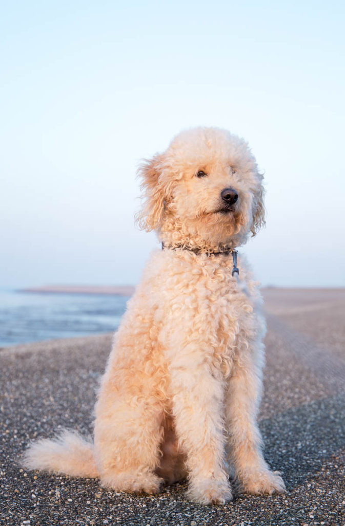 Are Goldendoodles Good Guard Dogs?