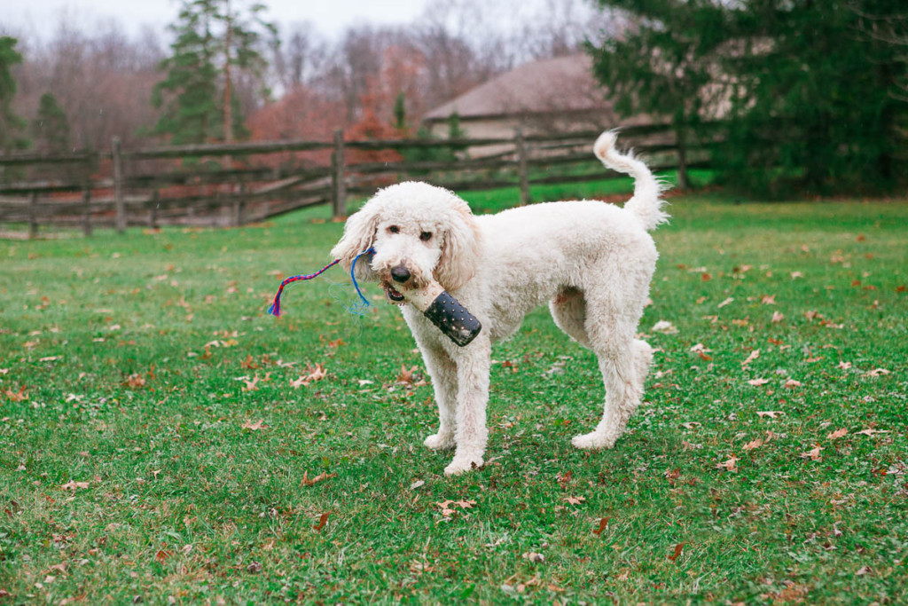 Is Your Goldendoodle Hyper