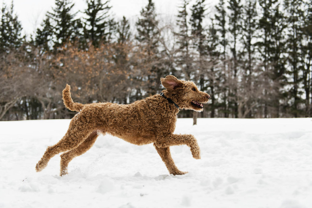 Is my Goldendoodle Too Skinny_ #dogs, #puppies, #doodles