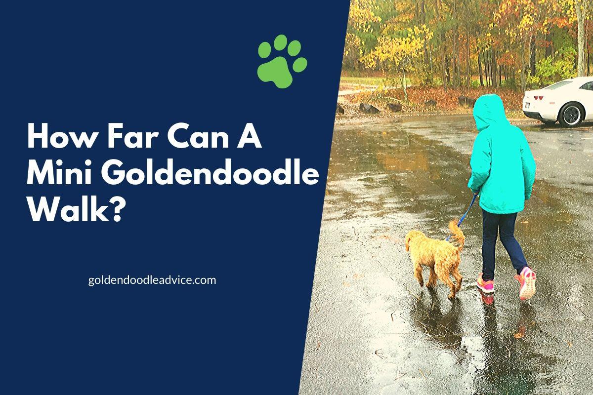 How Far Can A Mini Goldendoodle Walk?