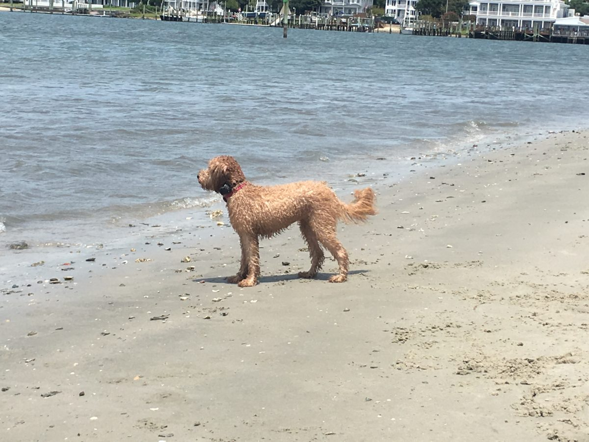 Can Goldendoodles Swim? Do Goldendoodles Like The Water? #Goldendoodles outdoors, hiking, swimming, boating, running and more #dogs, #doodles, #Goldendoodles