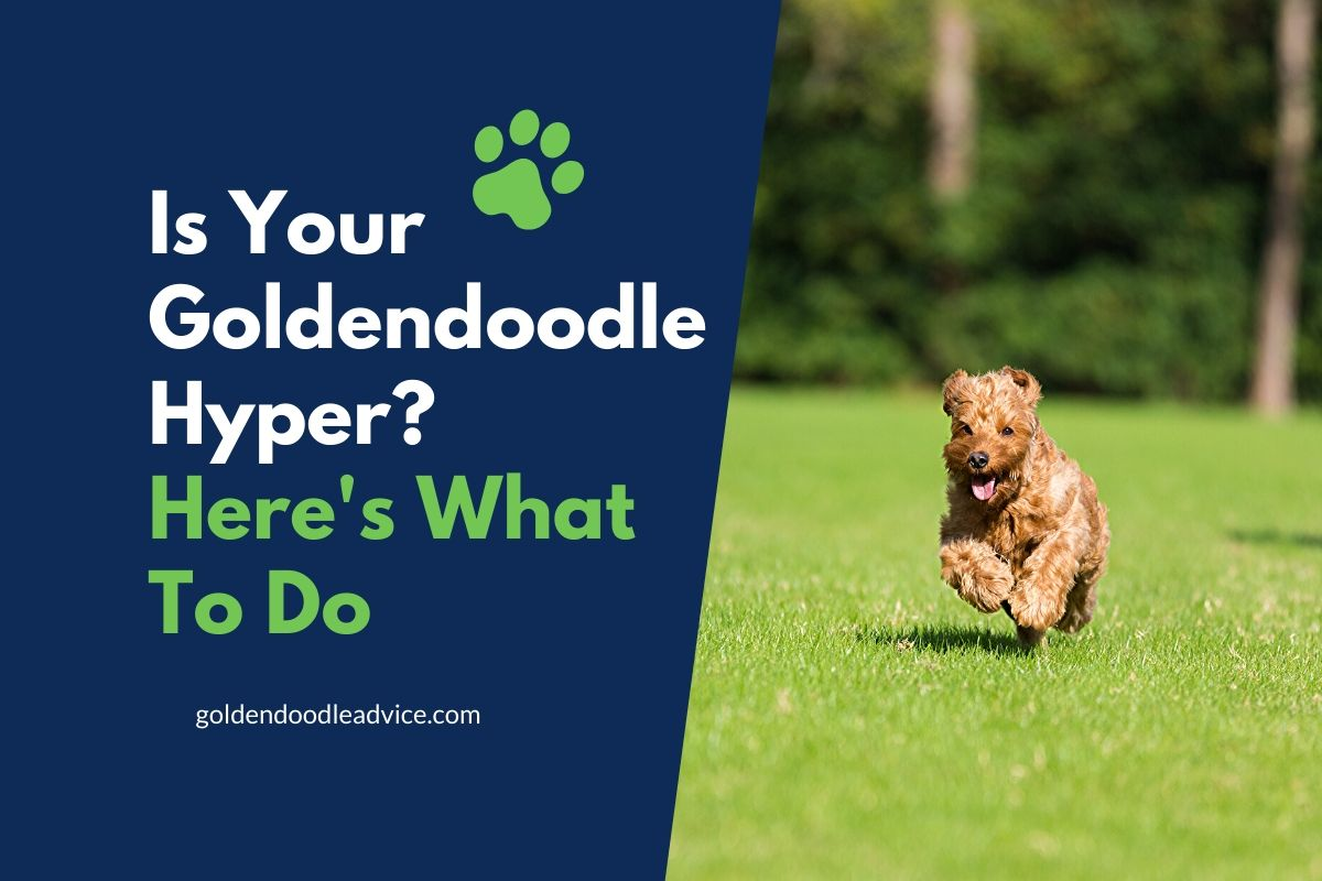 Is Your Goldendoodle Hyper_ #dogs, #puppies, #doodles, What Age Do Goldendoodles Naturally Calm Down?